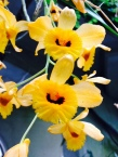 yellow-orchid-flower-thebroadlife-travel-wander-hagleypark-newzealand